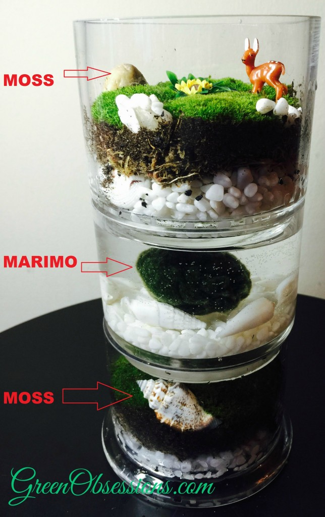 Marimo And Moss Terrarium Green Obsessions