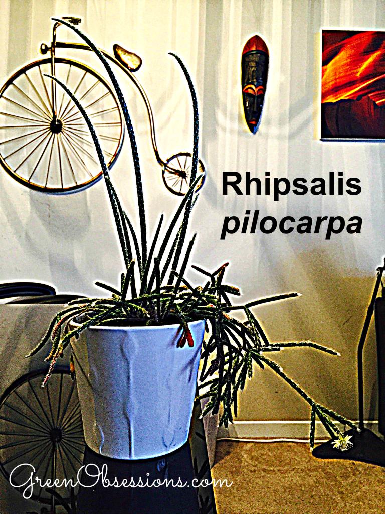 pilocarpa3