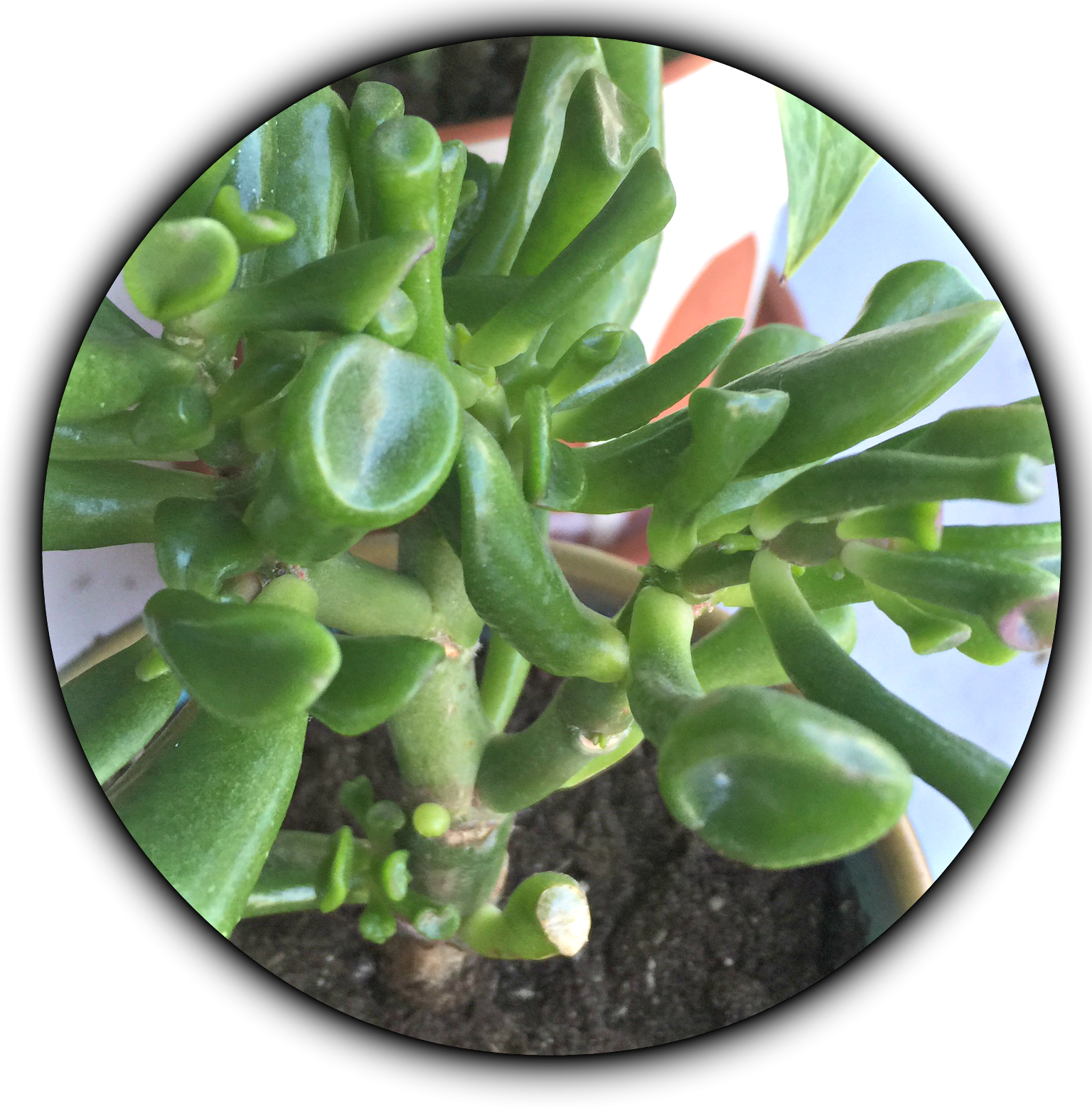 10 Succulents For Low Light Environments Green Obsessions