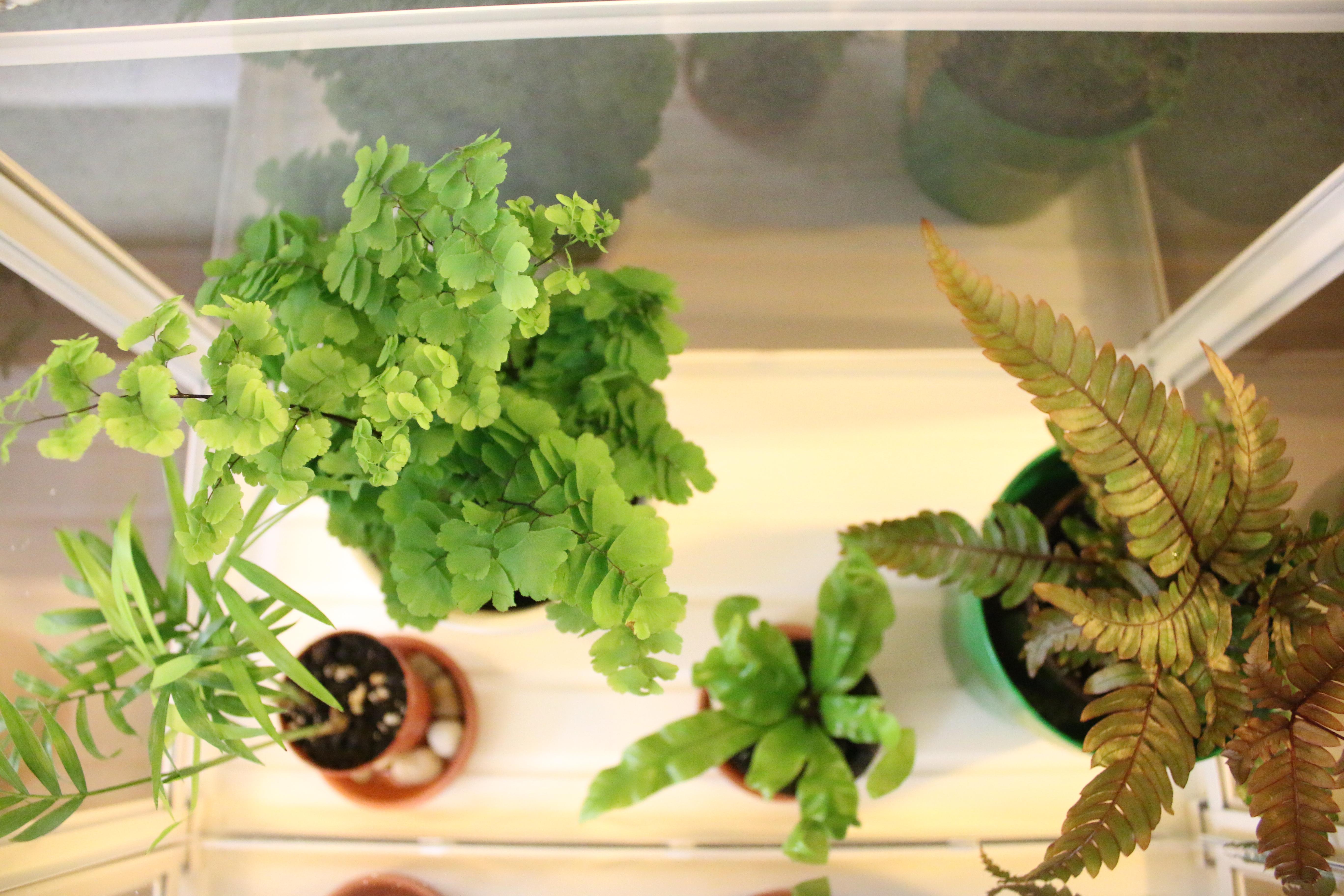 my-mini-fern-greenhouse