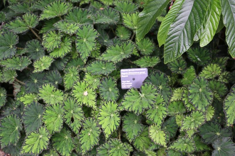 begonia11