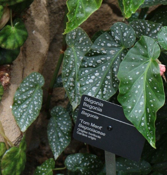 begonia13
