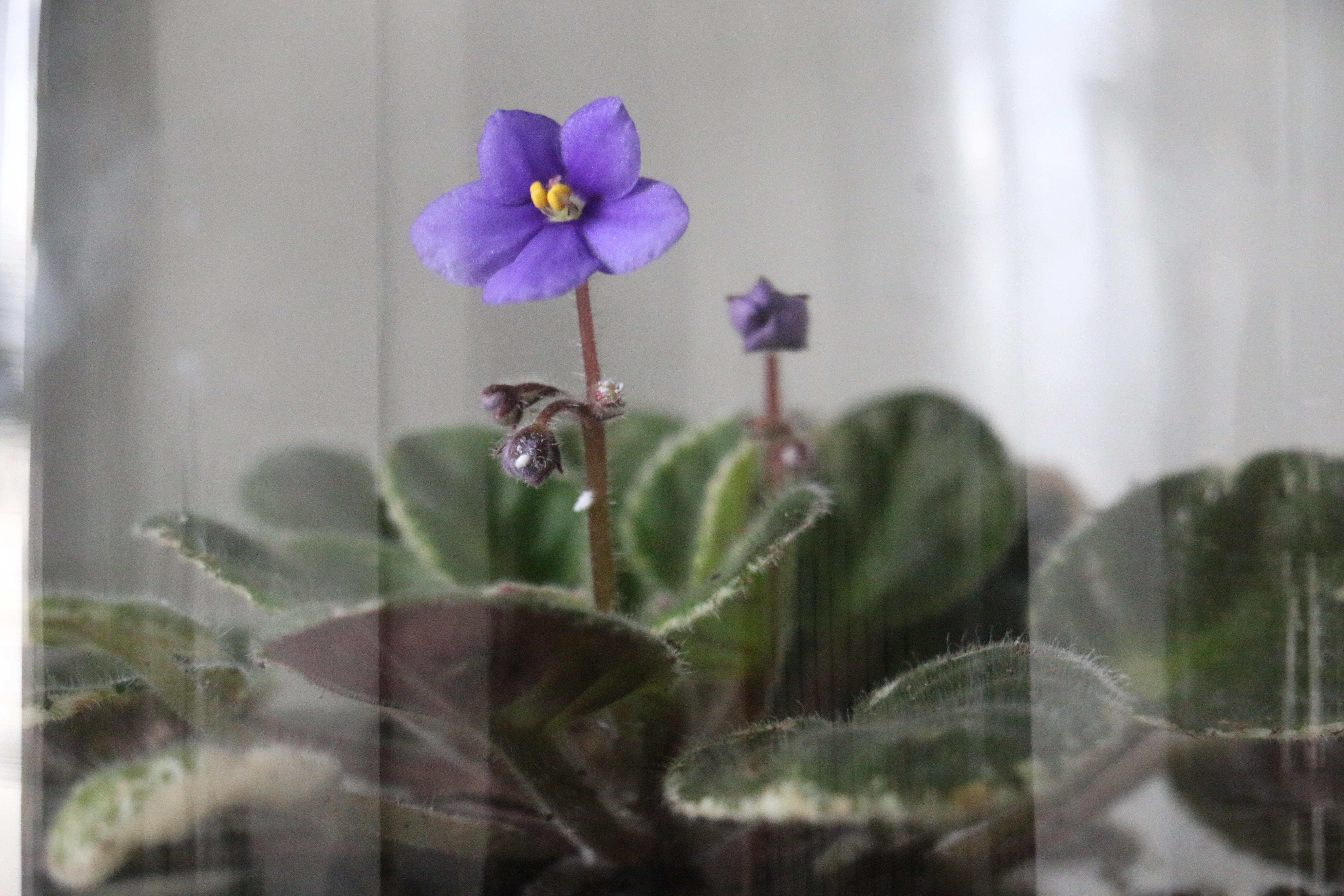 My African Violet Ordeal