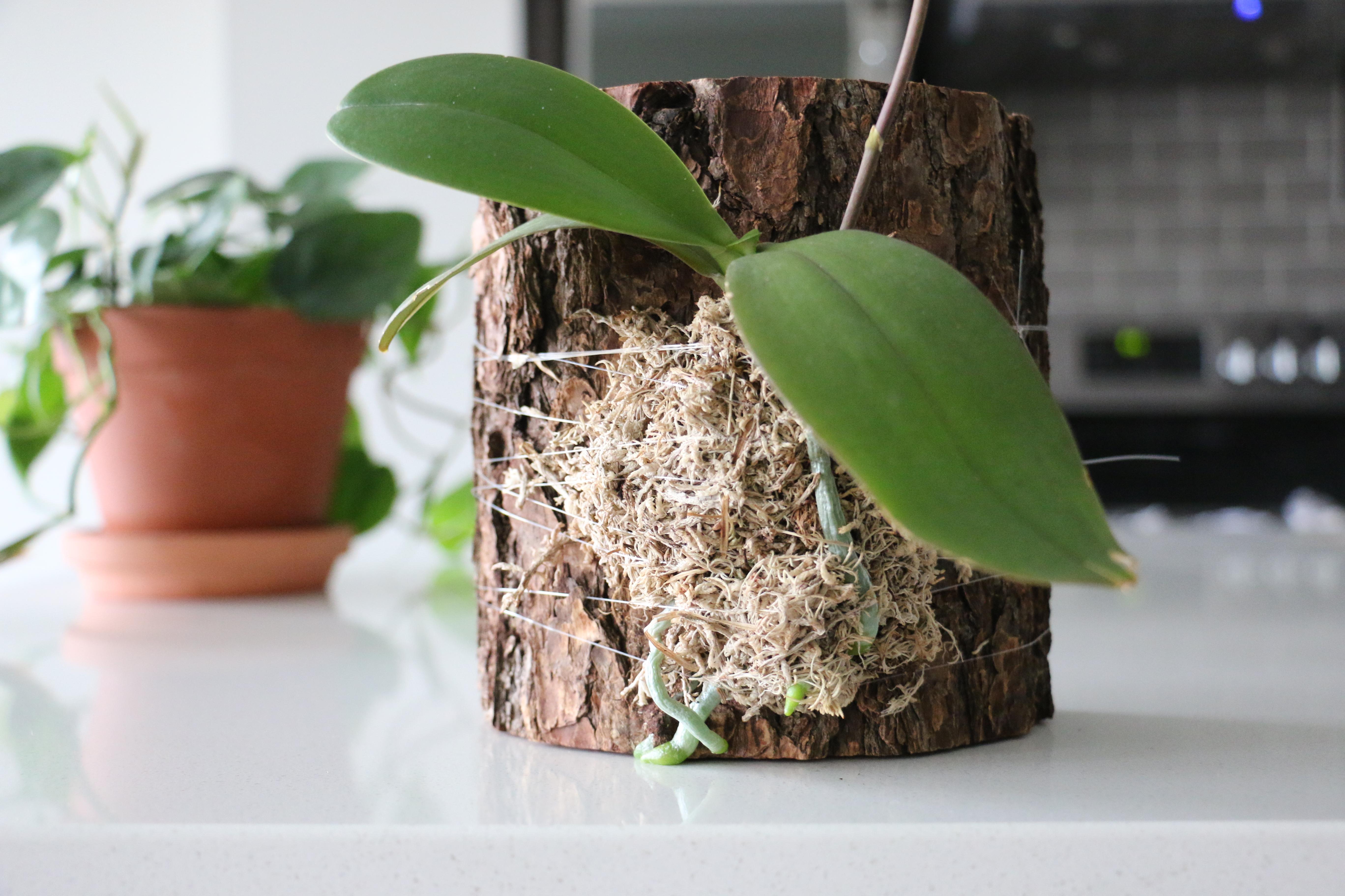 Как правильно пересадить орхидею. Пересаживаем орхидею