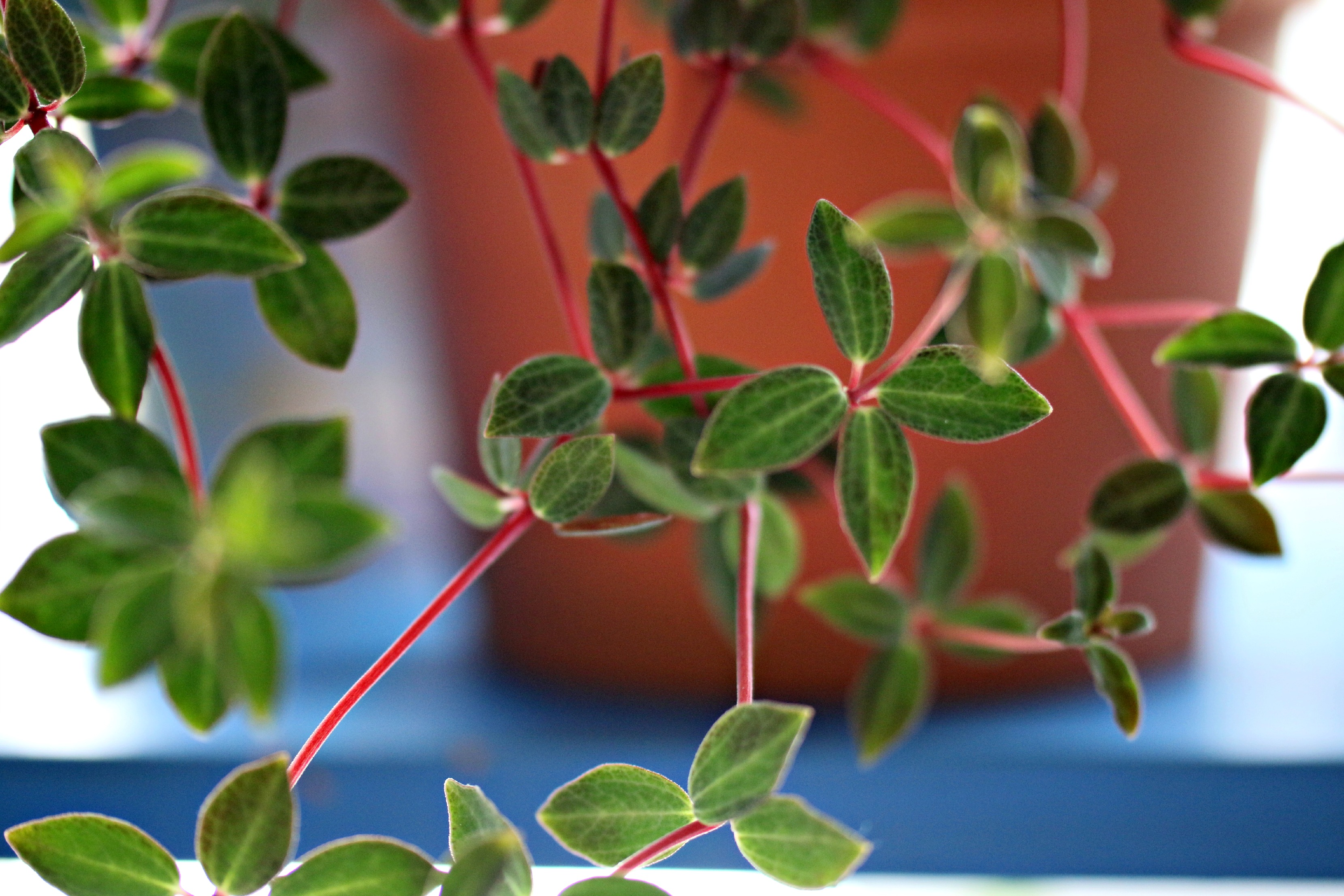 mystery-peperomia
