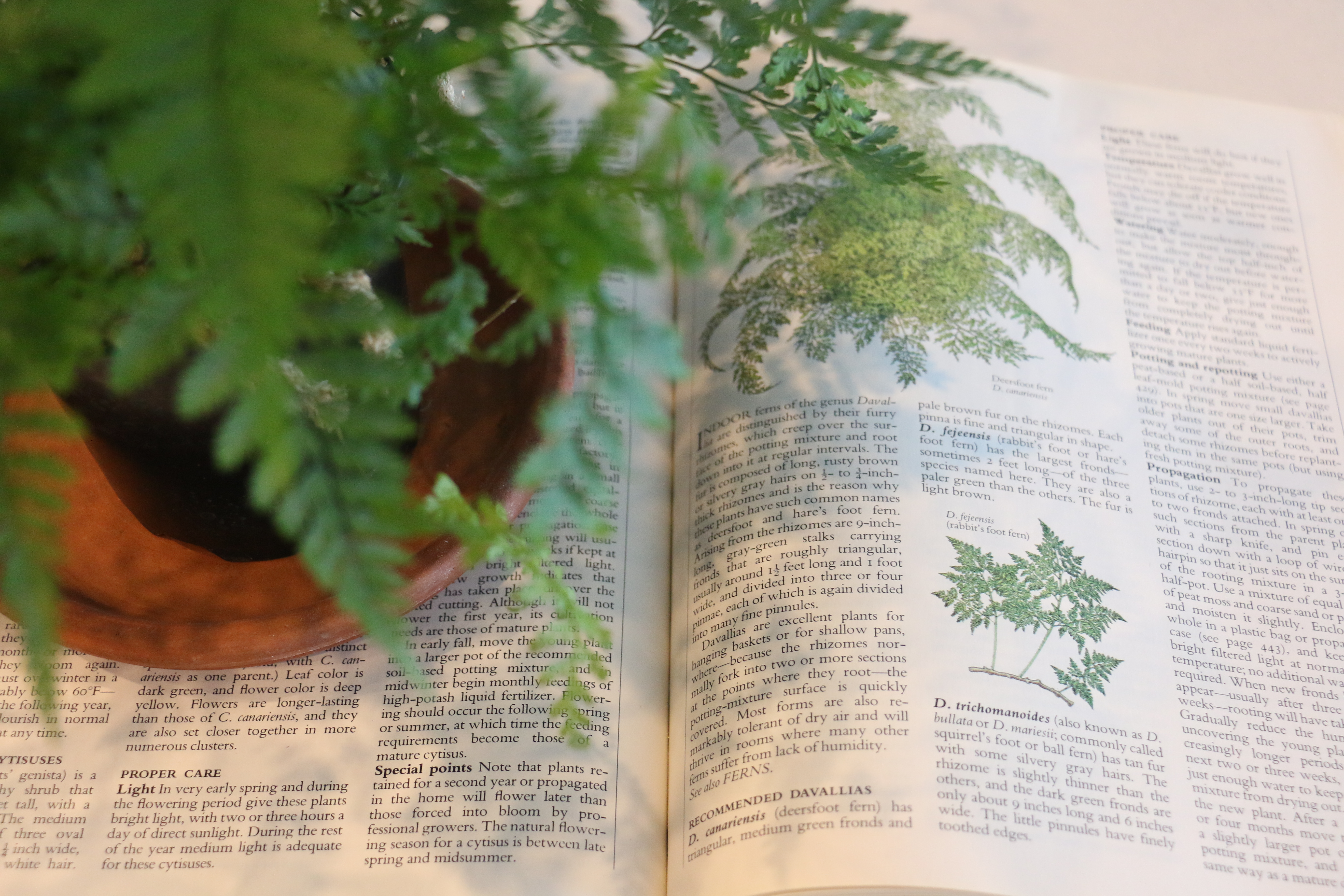 a-rabbit-foot-fern