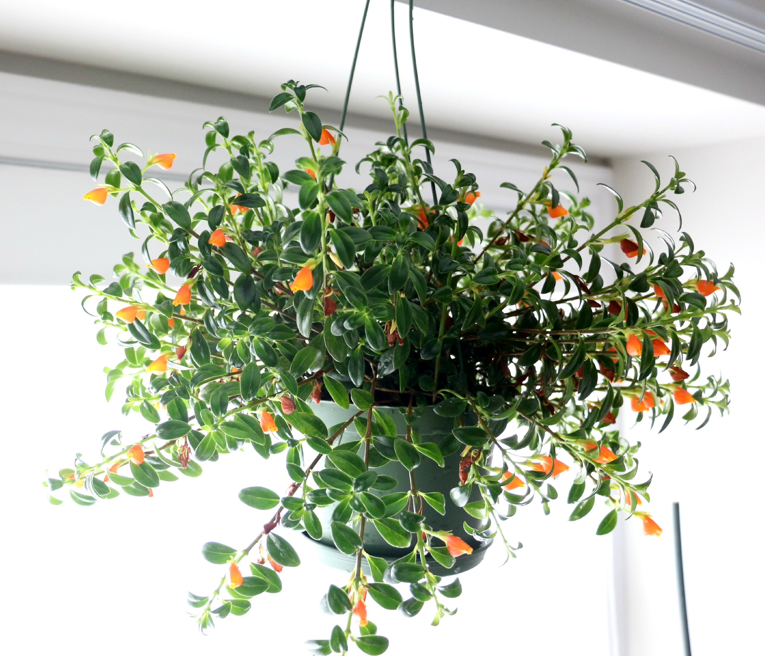 Green Obsessions » Blog Archive » Guppy, The Goldfish Plant