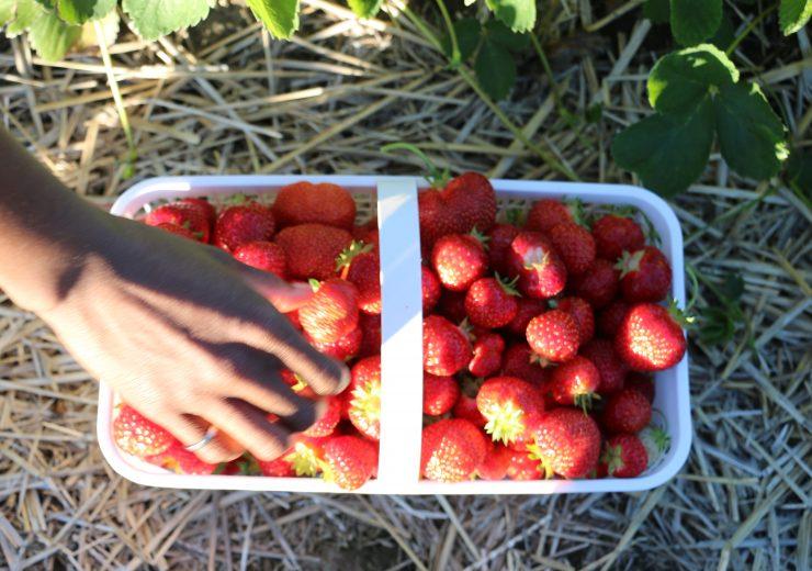 gone-strawberry-picking