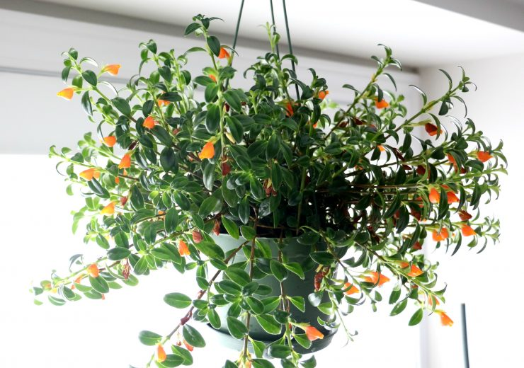 guppy-the-goldfish-plant